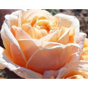 Rose FOLIE'FLORE ® Barmarcreme