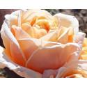 Roseto FOLIE'FLORE ® Barmarcreme