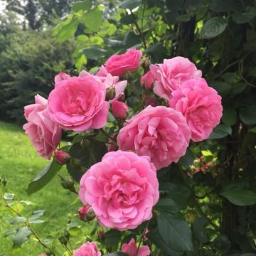 Rosa VOLARE ® Adalinalu
