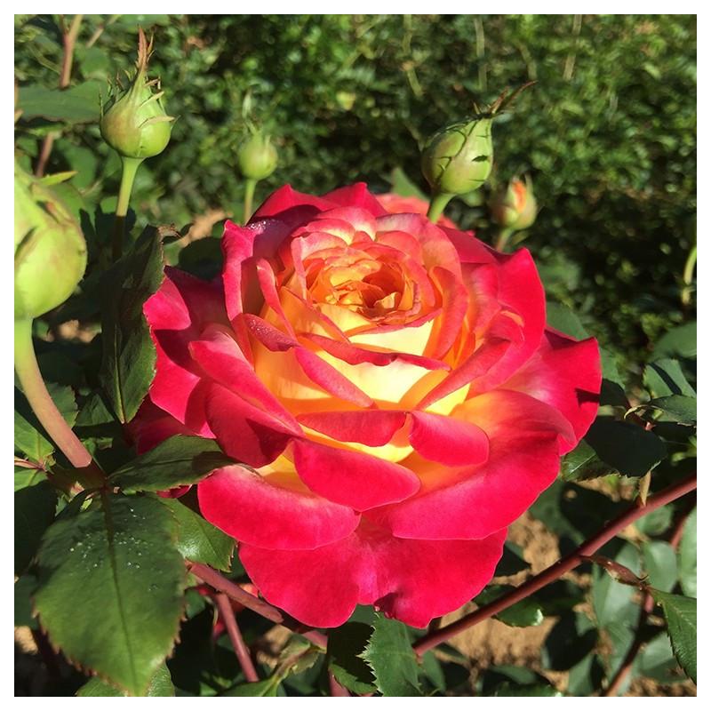 Rose POP STAR ® Nirporex