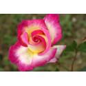 Rose SWEET DELIGHT Adalegski