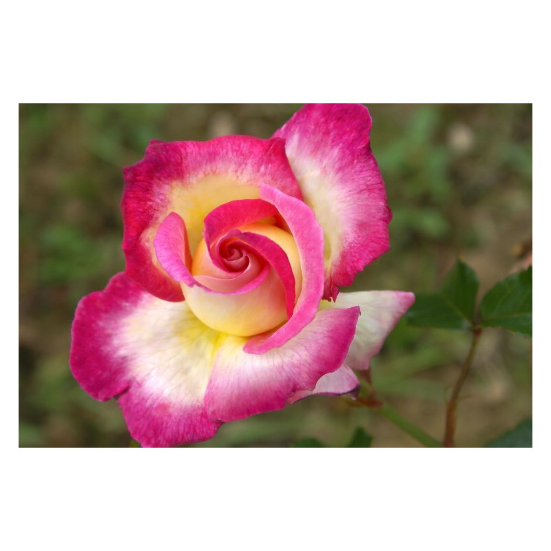 Rose SWEET DELIGHT ® Adalegski
