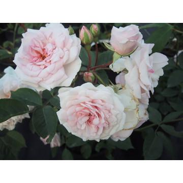 Rose MARIE PAVIE