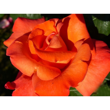 Rose CHRISTOPHE COLUMB ® Meironsse