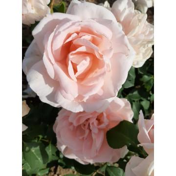 Ville de Fontenay-aux-Roses ®