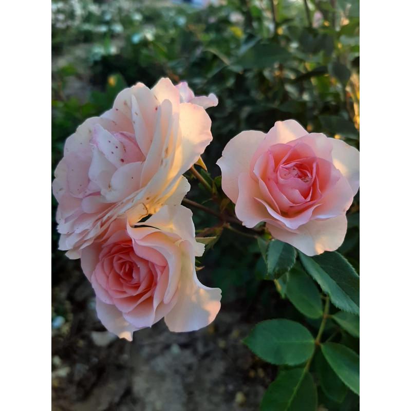 Mini PIERRE DE RONSARD ® / Mini EDEN ROSE ® Meibigboni