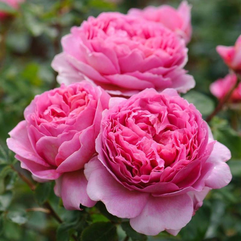 Roses English