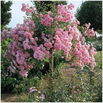 Rose 70-80cm THE FAIRY