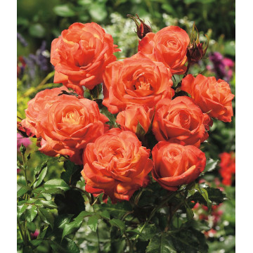 Rose ORANGE SENSATION