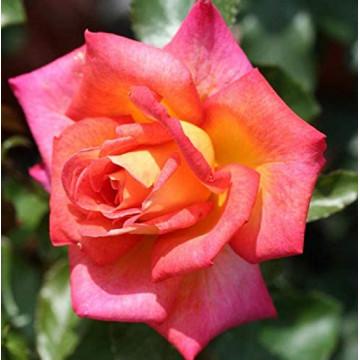 Rosa PICADILLY