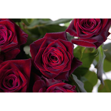 Rose BLACK BACCARA ®...