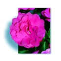 Rose EMERA ® Noatraum