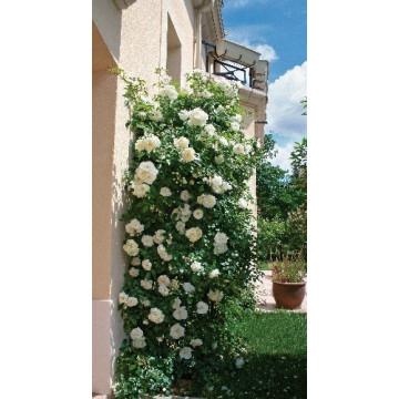 Rose OPALIA ® Noa140702