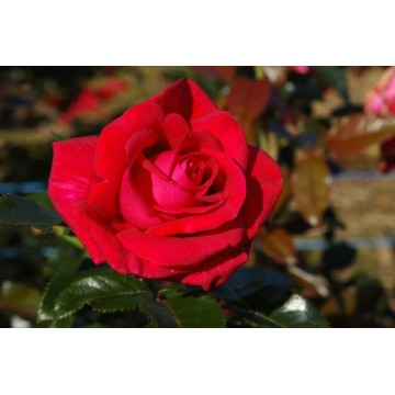 Rosa LE GRAND HUIT ® Adharman