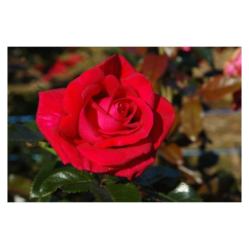 Rosa LE GRAND HUIT ® Adharman