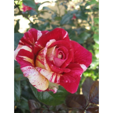 Rosa BROCELIANDE ® Adaterhuit