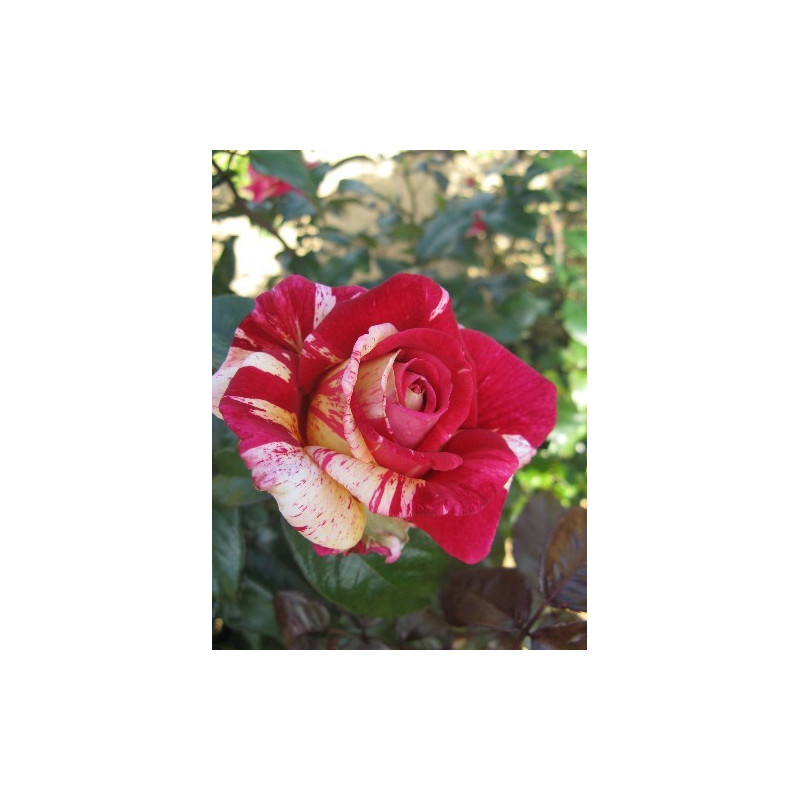 Rose BROCELIANDE ® Adaterhuit