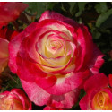Rose DOUBLE DELIGHT ®