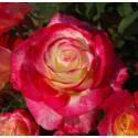 Roseto DOUBLE DELIGHT