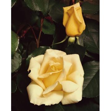 Rosa ELINA ® Dicjana