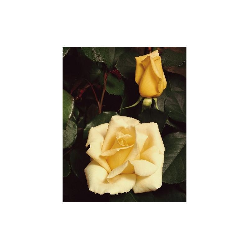 Rose ELINA ® Dicjana