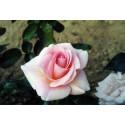 Rose FANNY ARDANT ® Adarocona