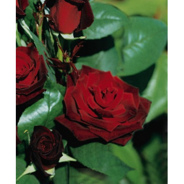 Rose GRAND CHATEAU ® Tanelorak