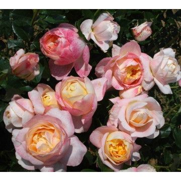 Rose ISABELLE AUTISSIER ®...