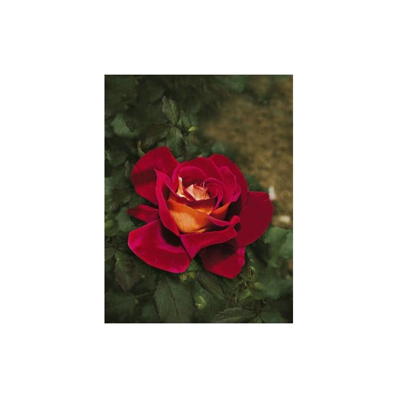 Rosa KRONENBOURG ® Macbo