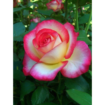 Rose LEO FERRE ® Adabiterse