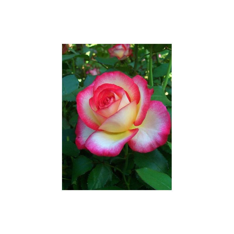 Rose LEO FERRÉ ® Adabiterse