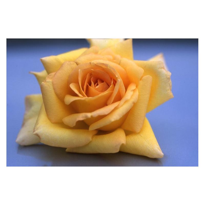 Rose MELISSA ® Saunelle