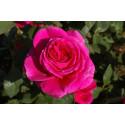 Rose NUIT D'ORIENT ® Stebigpu