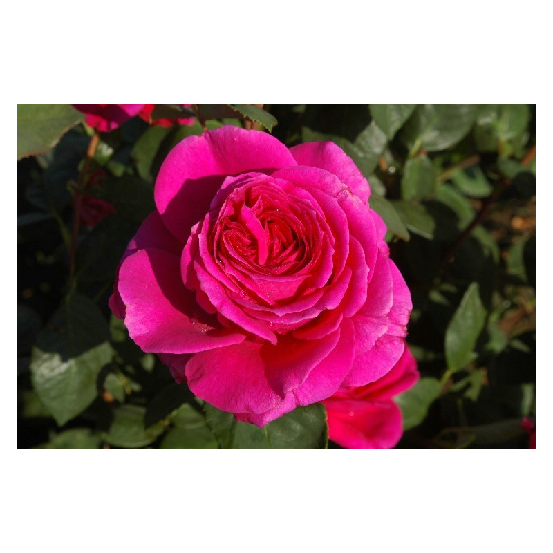 Rosa NUIT D'ORIENT ® Stebigpu