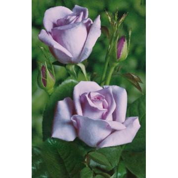 Rosa SISSI ® Tannacht