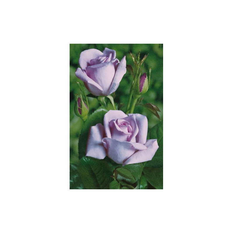 Rose SISSI ® Tannacht