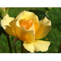 Rose AMBER QUEEN ® Harroony