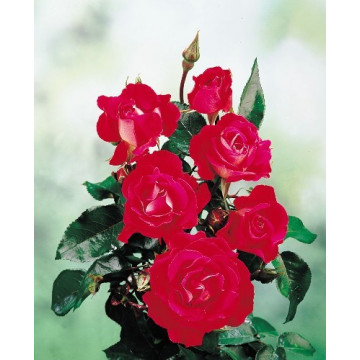 Rose AMOUR DE SAVERNE ®...