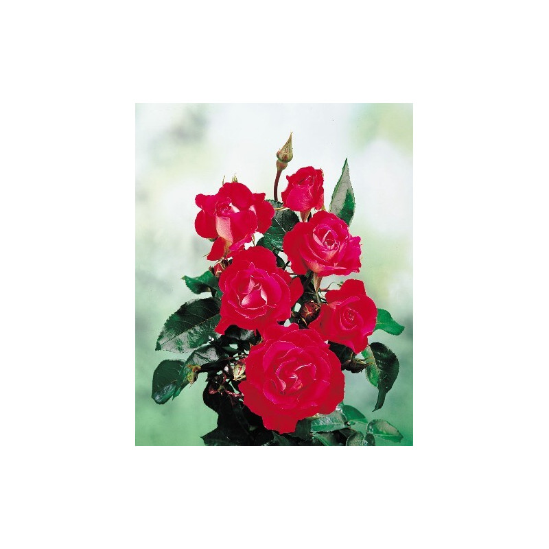 Rose AMOUR DE SAVERNE ® Saudime