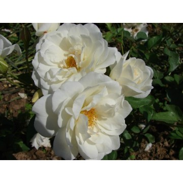 Rose ICEBERG (FEE DER SCHNEE)