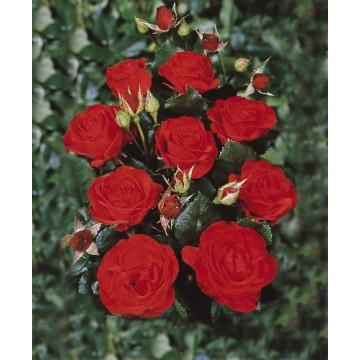Rosa MONTANA ® Royal Ocasión