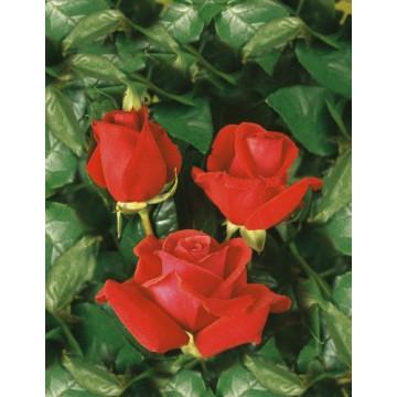 Rose NUAGE PARFUME ® Tanellis