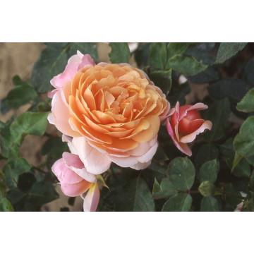 Rose PARFUM d' ORLEANS ® Saunalid