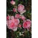Rose ROSENGARTEN DES CHATELET ® Sauban
