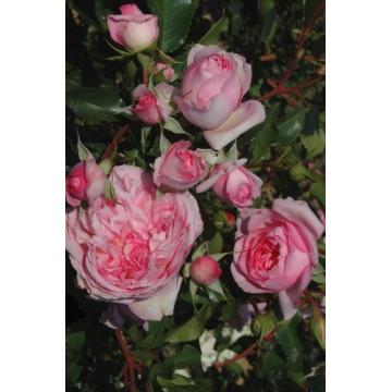 Rose ROSENGARTEN DES...
