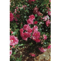 Rose BEAUCE ® Korsilan