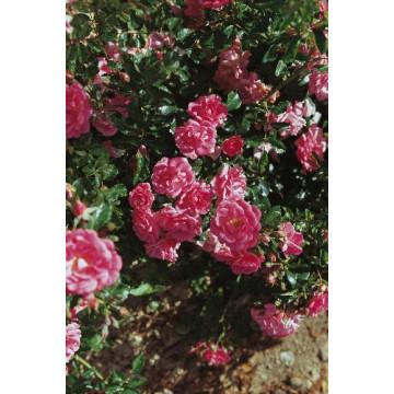 Rose BEAUCE ® Korsilan