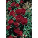 Rosa ROMA ® Joerger