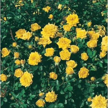 Rose BIJOU D'OR  ® Tanledolg