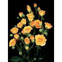 Roseto CLEMENTINE Tanogrew